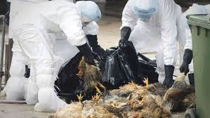 Risque de grippe aviaire aux Etats-Unis : le CDC lance une alerte
