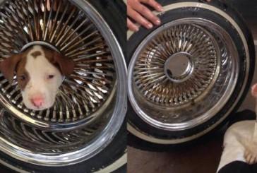 Il cucciolo di pitbull si incastra nella ruota, salvato dai Vigili del Fuoco