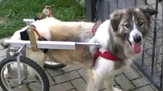 Investito, non soccorso, rinchiuso: la nuova vita di Spider, cane disabile e felice