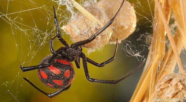 Lesioni da morso di ragno, un caso clinico