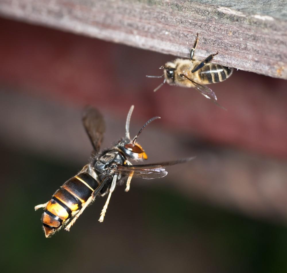 la vespa aleutina o calabrone cinese