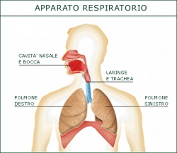 250px-Apparato_respiratorio