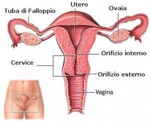 300px-Apparato_genitale_femminile