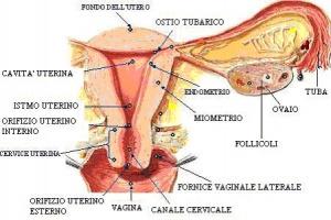 300px-Fisiologia_apparato_genitale_femminile