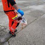 Il rischio in elisoccorso? Birdstrike a Padova, rientro da manuale | Emergency Live 4